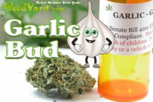 garlic-weed